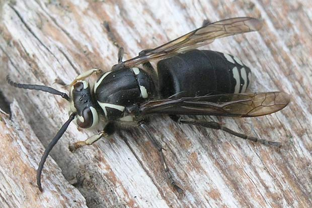Black and white bee or wasp bees wasps archives portland pest