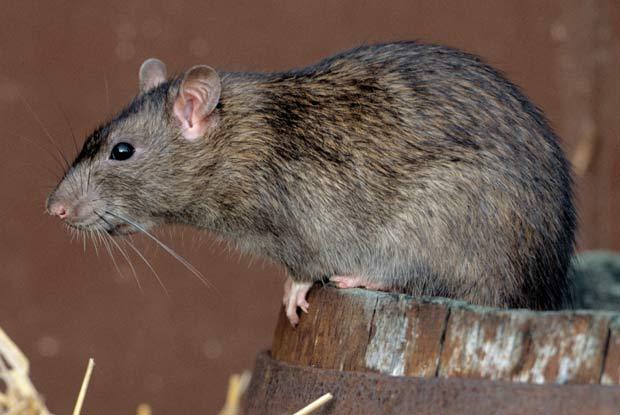Brown Rats Portland Pest Guard