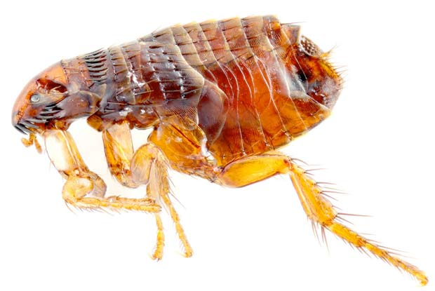 Can Dogs Transfer Fleas To Humans