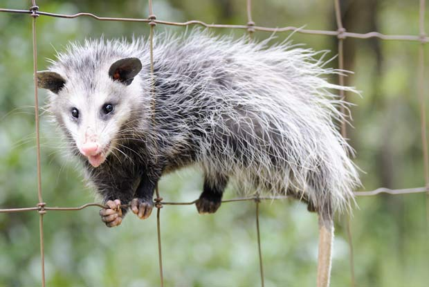how to catch a possum in the attic