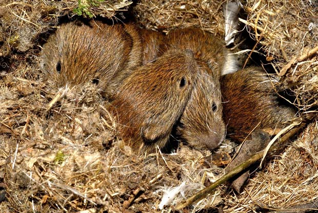 What Do Wolf Spiders Eat >> Voles - Portland Pest Guard