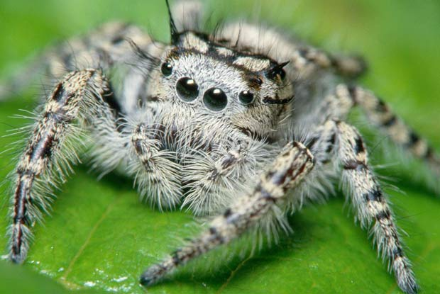 Jumping Spiders Portland Pest Guard