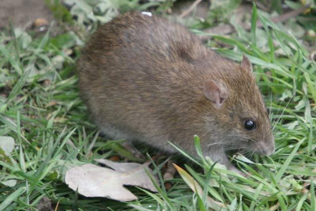 Norway Rats Portland Pest Guard
