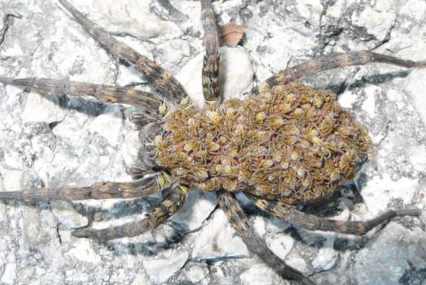Wolf Spiders Portland Pest Guard