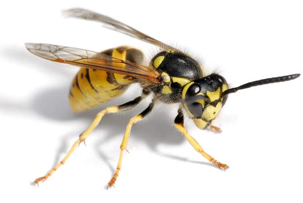 Yellow Jacket Wasps Portland Pest Guard