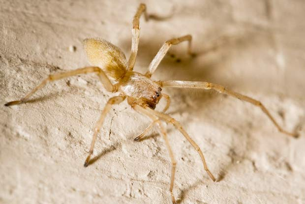 Yellow Sac Spider Portland Pest Guard