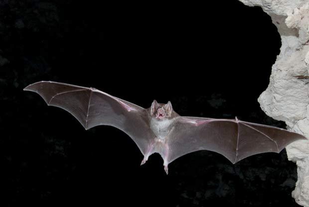 Bats Portland Pest Guard